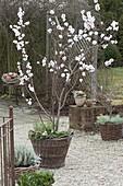 Prunus dulcis (Mandelbaum, Essmandel) unterpflanzt mit Bellis