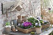 Spankorb mit frisch gekauften Primula (Primeln), Ranunculus (Ranunkel)