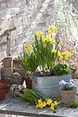 Zink-Jardiniere im Frühling bepflanzen