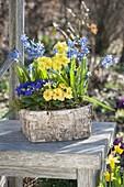 Birken-Kästchen mit Primula acaulis, elatior (Primeln) und Scilla