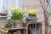 Narcissus 'Tete a Tete' (Narzissen), Primula elatior (Hohe Primeln)