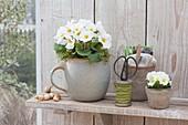 Primula acaulis (Primeln) auf Wandbord, Allium cepa (Steckzwiebeln),