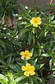 Damiana ulmifolia syn. Turnera ulmifolia ist eine alte Heilpflanze aus Mexiko
