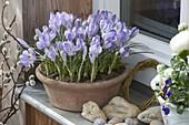 Crocus chrysanthus 'Blue Pearl' (Krokusse) in Terracottaschale