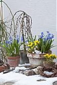 Frühlingserwachen : Eranthis (Winterlinge), Scilla (Blausternchen),