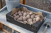 Kartoffeln (Solanum tuberosum) im Gewächshaus vorkeimen