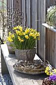 Narcissus 'Tete a Tete' (Narzissen) in Korb auf Bank
