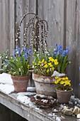 Frühlingserwachen : Eranthis (Winterlinge), Scilla (Blausternchen)