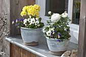 Viola cornuta (Hornveilchen), Ranunculus (Ranunkel) und Primula elatior