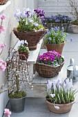 Frühling auf der Terrasse : Crocus (Krokusse), Iris reticulata (Netziris)