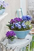Türkise Schale und Topf mit Primula (Primeln), Viola cornuta