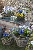 Vorfrühling auf Gartenmauer : Crocus chrysanthus 'Blue Pearl'