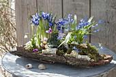 Iris reticulata (Netziris), Scilla (Blausternchen), Cyclamen coum