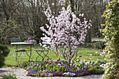 Prunus sargentii 'Accolade' (Frühe Zierkirsche)