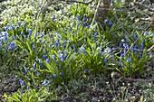 Fruehlingsboten : Scilla siberica (Blausternchen)