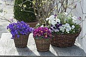 Frühling in Koerben : Aubrieta (Blaukissen), Primula acaulis (Primel)