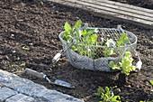 Jungpflanzen von Kohlrabi (Brassica) und Salat (Lactuca) zum Einpflanzen