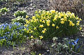 Fruehlingsbeet in gelb und blau : Narcissus 'Tete a Tete' (Narzissen)