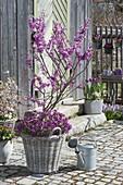 Cercis siliquastrum (Judasbaum) unterpflanzt mit Arabis