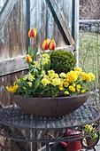 Frühling in Rostschale : Primula elatior (Hohe Primeln, Schlüsselblumen