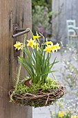 Nest aus Salix (Weide) und Moos mit Narcissus 'Tete a Tete' (Narzissen)
