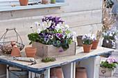 Holzkasten mit Bellis (Tausendschön), Viola cornuta (Hornveilchen)