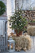 Picea abies (Rotfichte) als lebender Weihnachtsbaum auf Strohballen,