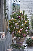 Pinus (Kiefer) als lebender Weihnachtsbaum, Christbaumkugeln
