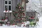 Pinus (Kiefer) als lebender Weihnachtsbaum mit Zapfen