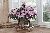 Rhododendron simsii 'Doberlug' (Zimmerazalee),