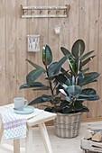 Ficus elastica 'Decora' (Gummibaum) im Korb-Übertopf