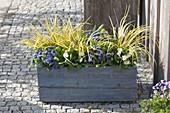 Blauer Holzkasten mit Primula Belarina 'Cobalt Blue' 'Snow'