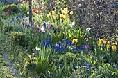 Buntes Frühlingsbeet mit Tulipa (Tulpen), Muscari (Traubenhyazinthen)