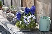 Metallschale mit Hyacinthus orientalis 'Marie' (Hyazinthen) und Viola cornuta
