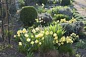 Fruehlingsbeet mit Narcissus (Narzissen), Erysimum 'Winter Gold'
