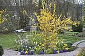 Kleines Beet mit Forsythia intermedia (Goldgloeckchen), Prunus incisa