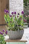 Tulipa 'Purple Prince' (Tulpen) und Fritillaria meleagris (Schachbrettblumen