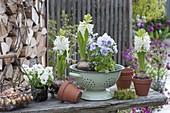 Hyacinthus orientalis 'White Pearl' (Hyacinthen) und Viola cornuta