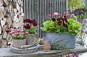 Zink-Jardiniere und Tontoepfe mit Salat (Lactuca), Viola cornuta