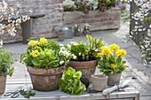 Tontoepfe mit Salat (Lactuca), Primula elatior (Schluesselblumen,