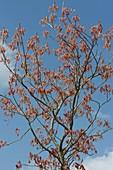 Aesculus glabra (Ohio - Rosskastanie) , roter Austrieb im Frühling