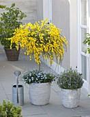 Cytisus scoparius 'Golden Tears' (Edelginster) Staemmchen,