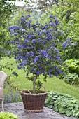 Solanum rantonnetii (Enzianbaum) in Weidenkorb