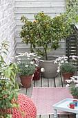 Kleiner Balkon mit Citrofortunella microcarpa (Calamondine