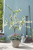 Sauerkirsche 'Morellenfeuer' (Prunus cerasus) unterpflanzt