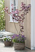 Prunus 'Royal Burgundy' (Rotblättrige Zierkirsche) unterpflanzt