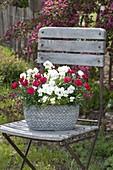 Dianthus caryophyllus 'Grenadin Red' (Nelken) und Viola cornuta 'White'