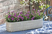 Dianthus caryophyllus 'Pink Kisses' (Nelken) in Keramik-Jardiniere