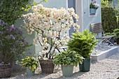 Rhododendron luteum 'Daviesii' (Gartenazalee), duftende Azalee