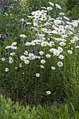 Margeritenwiese : Leucanthemum vulgare (Frühlings - Margeriten)